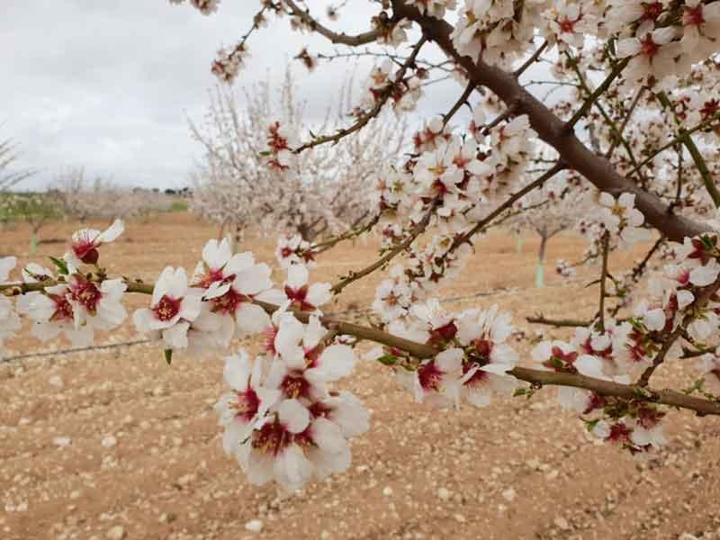 almendros en flor en pago de la jaraba