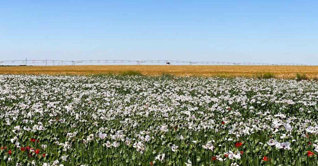 ovejas-manchegas-paseando-por-el-campo-de-pago-de-la-jaraba-en-primavera