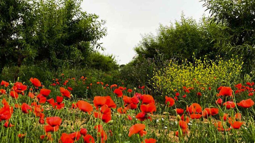 amapolas y campo de pago de la jaraba en primavera