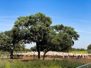 Ovejas Manchegas de Pago de La Jaraba disfrutando de la primavera