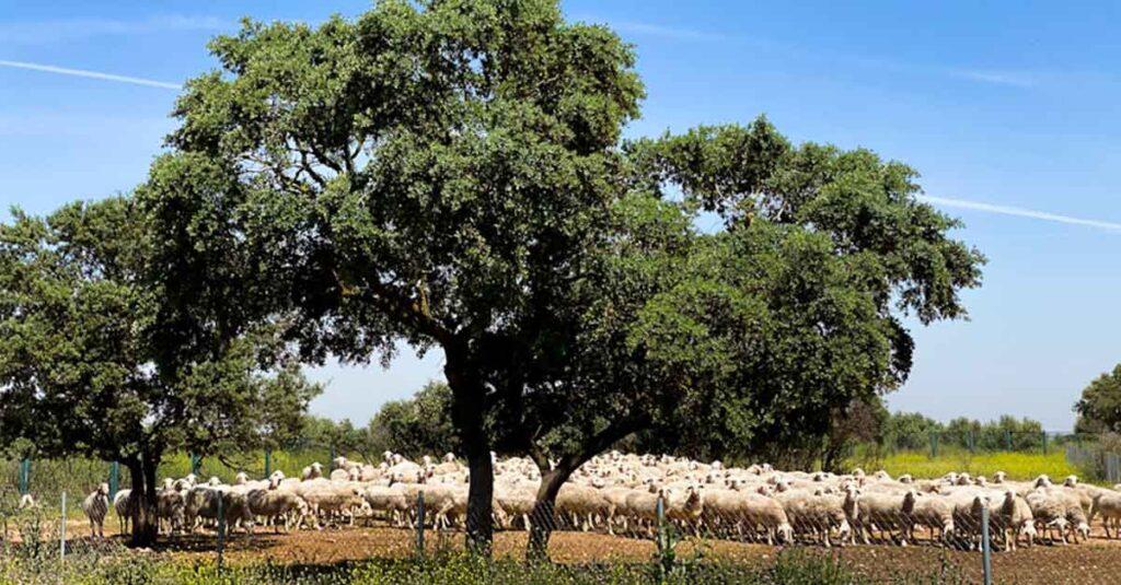 ovejas manchegas paseando por pago de la jaraba en primavera