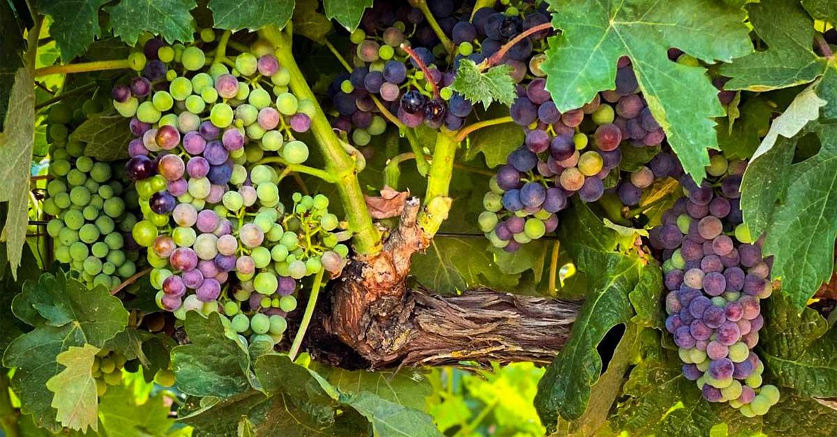 uvas en envero listas para vendimia en pago de la jaraba